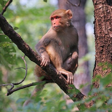 과학자들이 새로운 유전자가위 기술로  원숭이 간세포 유전자를 교정해 심근경색 등 심장병 치료법을 개발하고 있다. 사진은 실험 대상이 되고 있는 붉은털 원숭이.  ⓒ ScienceTimes