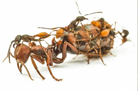 많은 개미 종들에서 일개미들은 여왕개미보다 작고 생식을 할 수 없다. 연구팀은 '이런 육체적 및 행동적 차이는 어떻게 진화되었을까?'하는 의문을 가지고 연구를 시작했다.  CREDIT: Daniel Kronauer