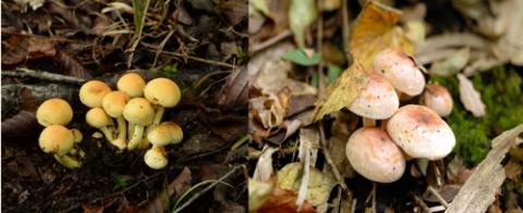 독버섯인 노란다발(좌)과 식용버섯인 개암버섯(우) ⓒ 농촌진흥청