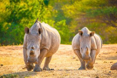 출산이 불가능한 암컷 두 마리만 살아 남아 있는 북부흰코뿔소 복원을 위해 과학자들이 인공배아를  제작해 종 보존 가능성에 대한 기대가 높아지고 있다. 사진은 북부흰코뿔소.  ⓒwildaid.org