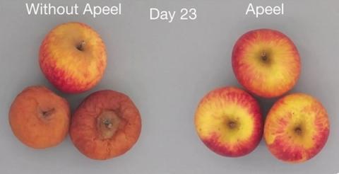 수확 후 23일이 지난 사과의 형태. 우측이 코팅제를 바른 사과다 ⓒ Apeel Sciences