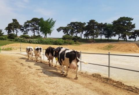 걷기 활동을 진행한 젖소의 멜라토닌 함량이 더 높은 것으로 나타났다