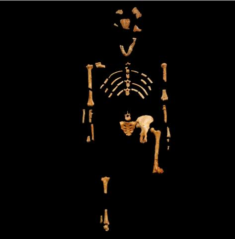 오스트랄로피테쿠스 아파렌시스(학명 : Australopithecus Afarensis)의 화석. 가장 잘 알려진 이름은 '루시'이다.