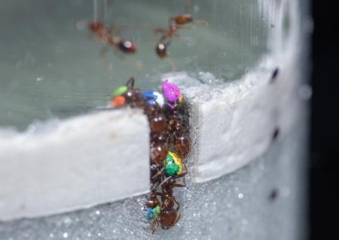 연구팀은 개미들이 교통체증 없이 효율적으로 작업하는 전략을 이해하기 위해 토양을 흉내낸 유리입자에서 불개미들이 터널을 파는 방법을 연구했다. 각 개미들에게는 식별을 위해 색을 칠했다.  CREDIT: Rob Felt, Georgia Tech