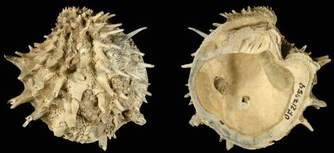 대서양에 현재 서식하면서 화석이 존재하는 가시 보석상자 조개(Arcinella cornuta ) CREDIT: Neogene Atlas of Ancient Life / University of Kansas