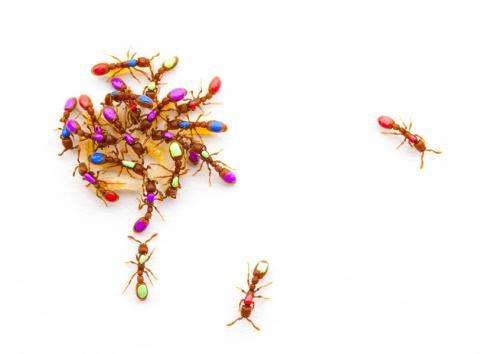 연구팀은 집단 크기와 사회적 행동 사이의 관계를 조사하기 위해 개미사회를 연구했다. 연구결과 그룹 크기가 커지면 노동분업으로 이어지지 않더라도 그룹 구성원에게 도움이 된다는 사실이 밝혀졌다. 사진에 보이는 클론 레이더 개미는 리더가 없어도 모여서 새끼를 돌보고 일부 무리는 먹이를 찾아 나선다.  CREDIT: Daniel Kronauer, Rockefeller University