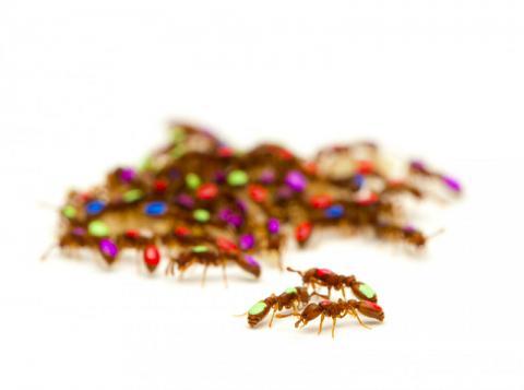 연구팀은 각 개미에 페인트칠을 해 이들의 자율행동을 추적했다.  CREDIT: Daniel Kronauer, Rockefeller University