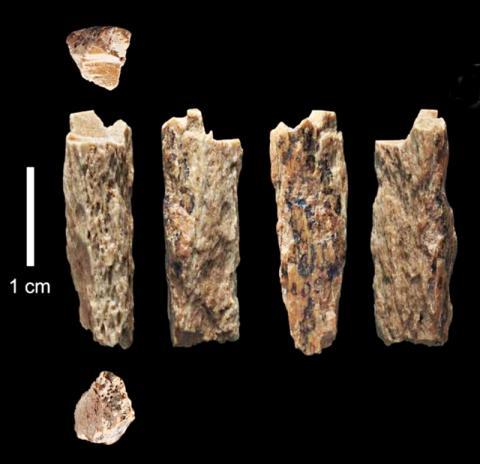 2012년 러시아 고고학자들이 발굴한 데니소바인 뼈조각('Denisova 11'). 네안데르탈인 어머니와 데니소바인 아버지 사이에서 태어났다.  © T. Higham, University of Oxford