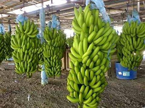 바나나를 대량 생산하기 위해 한 품종을 대형 농장에 대량 생육하면서 TR4 곰팡이로 인한 멸종 위기를 맞고 있다. 사진은 가앙 밚이 소비되고 있는 캐번디시 바나나. ⓒamazon.com