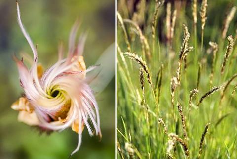 세계 130개국 과학자가 참여한 국제협동연구에 따르면, 기후변화로 인해 북극 툰드라 지대 식물들의 키가 커지고 있다는 연구가 나왔다. 사진은 북반구 북부와 알프스 지방에서 자라는 장미과 담자리꽃의 꽃씨 모습(왼쪽). 오른쪽은 유럽 저지대에서 흔히 볼 수 있는 벼과 다년생 목초인 향기풀(Vernal sweetgrass). 지구온난화로 북극 툰드라지대로 퍼져갔다.  CREDIT: Anne D Bjorkman / Christian Fischer