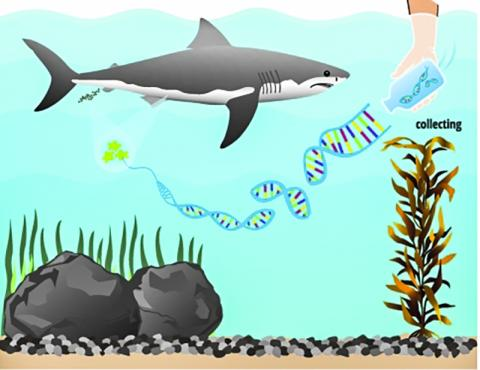 물 속의 환경DNA를 분석해 백상어의 존재를 예측할 수 있는 기술이 나왔다. 이 eDNA 기술은 물 속의 모든 어류와 양서류의 DNA를 검출할 수 있어 여러 생물다양성 관련분야에서 활용될 수 있다.  Photo Credit: CHRIS JERDE ILLUSTRATION