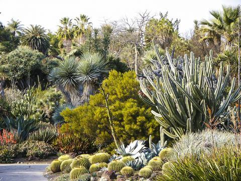 사막지대에서 선인장 같은 다육식물은 장기간의 가뭄에도 잘 견딘다.  Credit: Wikimedia Commons / Pamla J. Eisenberg / Huntington Library Desert Garden Cactus 0215