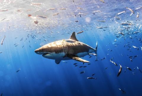 상어는 일반적으로 사람을 먹이감으로 삼지는 않으나, 방어책이나 호기심 혹은 먹이로 오인해서 물어뜯기 때문에 주의해야 한다.  Photo : UC Santa Barbara The Current
