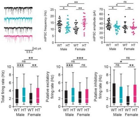 (위) 해마의 피라미드 신경세포 세포간 신호전달 정도(mIPSC)를 측정한 결과, CHD8 돌연변이 수컷 생쥐의 경우 빈도수와 너비 폭이 모두 감소한 데 반해 암컷에게선 빈도수가 증가한 것을 볼 수 있다. (아래) 해마 뉴런 세포 바깥에서 일어나는 전기생리적 변화인 '발화 정도'(firing)를 살폈더니 수컷 돌연변이는 흥분성 뉴런 발화 정도가 증가한 반면 암컷은 억제성 뉴런 발화 정도가 늘었다.
