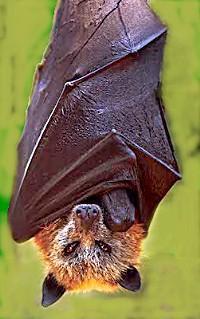 에볼라 바이러스의 자연숙주로 유력하게 추정되는 과일박쥐 ⓒ Free photo