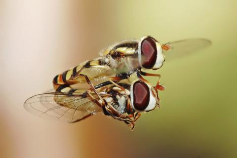 지구온난화로 기온이 올라가면서 곤충 수가 급격히 늘어나고, 식물을 먹이감으로 삼으면서 식물 생태계에 큰 위협이 되고 있다는 연구 결과가 발표됐다. 사진은 애벌레 동안 왕성한 식욕을 보이는 꽃등에.  ⓒWikipedia