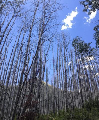 가뭄에 영향을 받은 미루나무 군락의 모습. Photo credit: Courtesy of William Anderegg