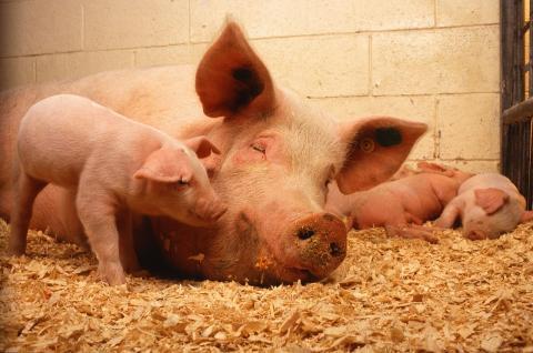 지구온난화로 인해 정상보다 더운 날씨가 계속되면 돼지고기 생산량이 급속히 줄어들 수 있다는 주장이 제기됐다. ⓒ Public Domain