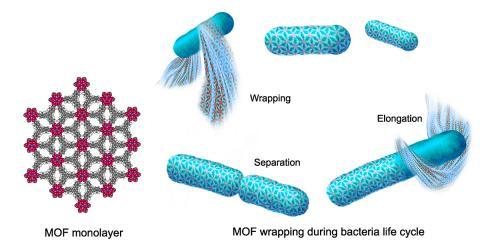 박테리아를 감싸고 있는 2차원 금속-유기 구조(MOF)는 박테리아가 성장하고 분열함에 따라 팽창하며 부드러운 망또 역할을 한다. 우주복이 산소가 없는 우주 공간에서 우주비행사들을 보호하는 것과는 반대로 MOF는 산소로부터 혐기성 박테리아를 보호한다.  CREDIT: Peidong Yang lab, UC Berkeley