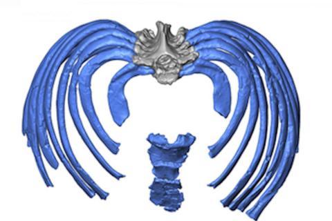 가상으로 재구성한 네안데르탈인의 흉부 이미지는 갈비뼈가 안쪽 방향으로 척추에 부착돼 현대인보다 더 직립된 자세를 취할 수 있도록 한다는 것이다.  CREDIT: Gomez-Olivencia, et al