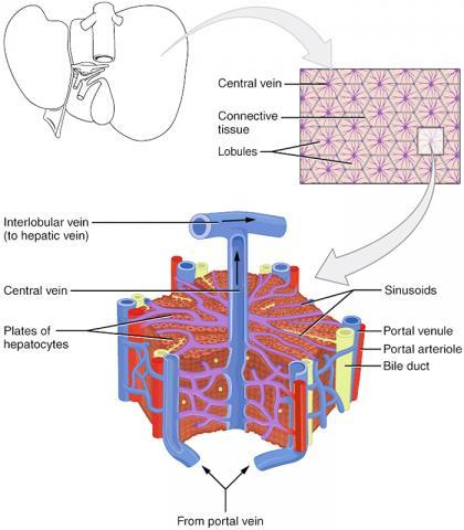간을 현미경적으로 해부한 모습. Credit : Wikimedia Commons/ Anatomy & Physiology, Connexions Web site. http://cnx.org/content/col11496/1.6/