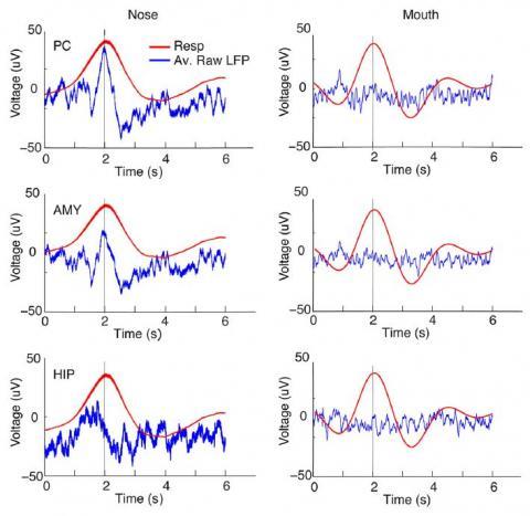 코로 숨을 쉴 때는 호흡 주기(빨간 선)에 뇌파(파란 선)가 동조하지만(왼쪽), 입으로 숨을 쉴 때(오른쪽)는 영향을 받지 않는다(오른쪽). 이런 현상은 뇌의 여러 영역에서 나타난다. 조롱박(후각)피질(위), 편도체(가운데), 해마(아래)의 데이터다.  ⓒ 신경과학 저널