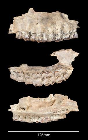 사우디 아라비아 '티스 알 가다' 유적지에서 발견된 포유류 화석들. CREDIT: Palaeodeserts Project (Ian R. Cartwright)