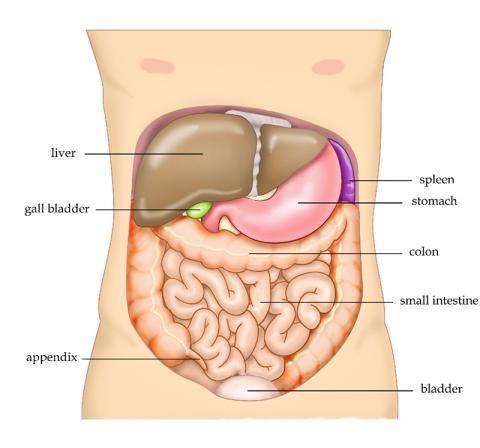 가로막 아래 우상복부에 위치한 간은 탄수화물과 단백질, 지방대사 및 호르몬 대사를 비롯한각종 대사작용과 해독 및 살균작용을 한다.  Credit : Wikimedia Commons/ Tvanbr