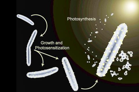 카드뮴이 공급된 무렐라 서모아세티카(Moorella thermoacetica) 박테리아는 몸체에 빛을 흡수하는 카드뮴 황화물 입자가 입혀진다. 이에 따라 햇빛과 이산화탄소를 가치 있는 화학제품으로 전환시킬 수 있는 하이브리드 인공 광합성 시스템이 만들어진다. CREDIT: Berkeley News