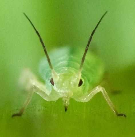 진딧물과 같은 곤충을 통해 농작물 안에 GM 바이러스를  전달해 해충이나 질병, 가뭄 등을 해소하려는 연구가 진행되고 있다. 일각에서는 이 기술을 생물학적 무기로 사용돼 지구 생태계를 파괴할 수 있다는 주장이 제기돼 논란이 가열되고 있다.  ⓒWikipedia