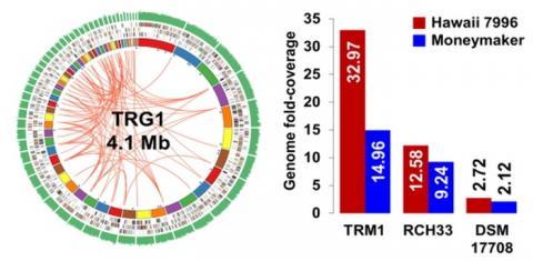 토마토 품종 2개의 유전체를 분석하여 TRM1 미생물이 토마토 저항성에 관여하는 미생물임을 규명했다