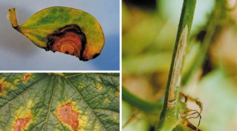 풋마름병의 증상 ⓒ 함평농업기술센터