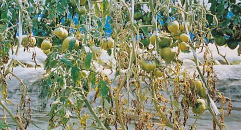 미생물 중에는 식물이 병에 걸리지 않도록 도와주는 보디가드 미생물이 있는 것으로 나타났다 ⓒ 함평농업기술센터