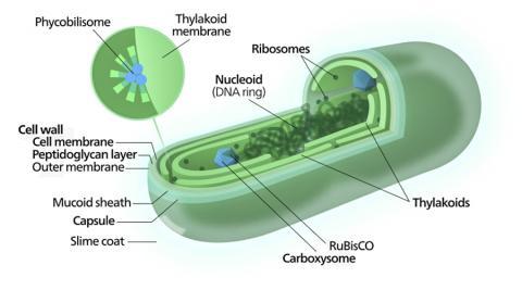 전형적인 시아노박테리아 세포 다이아그램. Credit: Wikimedia Commons / Kelvinsong
