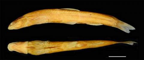 안수이고원미꾸라지 ⓒ 중국과학원 쿤밍동물연구소