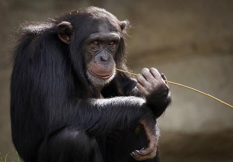 침팬지는 아기같이 웃는다. ⓒ Pixabay