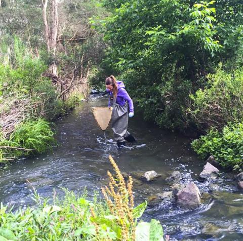 에린 리치먼드 연구원이 호주 빅토리아주 천사이드 공원의 브러쉬 지류에서 의약품 테스트를 위한 수생 곤충을 포집하는 모습.  CREDIT: Keralee Browne