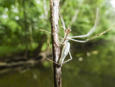 다리가 긴 갈거미과 거미들은 세계 각지의 물가나 강기슭에서 서식한다. 이 거미들은 시냇물을 가로질러 거미줄을 치고 수생곤충들이 날아오를 때 포획한다. 수생곤충 몸에 들어있는 약물은 거미나 다른 육지동물에게 옮겨져 생태계로 퍼진다.  CREDIT: Stephen Hamilton.