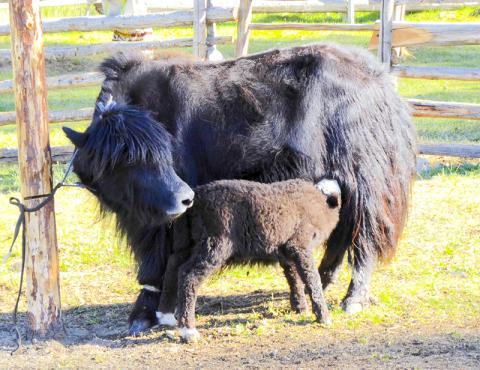 선사시대에 소와 야크를 비롯한 많은 낙농 가축들이 몽골로 유입돼 3000년 이상의 낙농 목축 문화가 형성됐다.  CREDIT: Christina Warinner