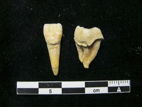 치아의 치석에 보존된 우유 단백질은 몽골지방 낙농 목축에 대한 최초의 직접 증거를 제시한다.  CREDIT: Christina Warinner