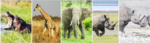 오늘날까지 아프리카에서 살아남은 2.7톤이 넘는 대형 초식동물 다섯 종류. 하마와 기린, 코끼리, 흰코뿔소와 검은코뿔소. CREDIT: John Rowan