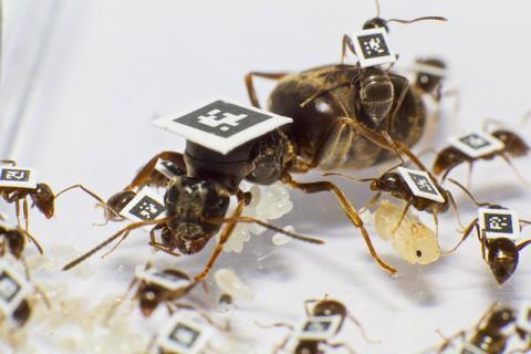 연구팀은 개별 개미 사이의 모든 상호작용을 정량화하고 개미집단이 어떻게 질병으로부터 스스로를 보호하는지를 이해하기 위해 수천 마리의 개미들에게 디지털 표지를 붙여 연구했다.  CREDIT: TIMOTHÉE BRÜTSCH