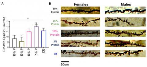 단백질 비율이 다른 네 가지 식단(19%, 15%, 10%, 5%)을 각각 마음껏 먹게 한 생쥐 네 그룹과 칼로리제한 그룹(CR)의 해마에서 수상돌기 가시 밀도를 보여주는 그래프와 현미경 이미지다. 단백질 비율이 낮은 식단을 마음껏 먹은 그룹과 칼로리제한 그룹에서 가시 밀도가 높음을 알 수 있다. 현미경 이미지에서 왼쪽은 암컷, 오른쪽은 수컷의 수상돌기다.  ⓒ 셀 리포츠