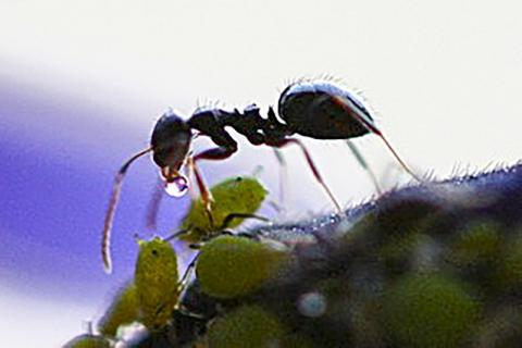 일개미도 알을 돌보는 젊은 '보모' 개미와 밖에 나가 먹이를 사냥 혹은 수집해 오는 나이든  수렵-채집 개미로 나뉘어진다. 진딧물 꽁무니에서 꿀물을 얻는 일개미의 모습.  CREDIT: Wikimedia Commons / Dawidi, Johannesburg, South Africa
