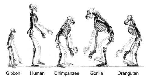 만약 지구 역사가 재현된다고 할 때 호모사피엔스는 똑 같은 진화 과정을 밟을까? 유인원이 인류와 공통 조상을 가졌음을 나타내는 그림.  Credit: TimVickers at English Wikipedia