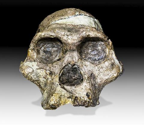1947년 4월 남아프리카 '인류의 요람'에서 발굴된 '미세스 플레스(Mrs. Ples)란 별명이 붙은 오스트랄로피테쿠스 두개골 화석. 연대측정 결과 205만년 전의 것으로 확인됐다. 프리토리아 국립박물관 소장.  CREDIT: Wikimedia Commons/ José Braga; Didier Descouens