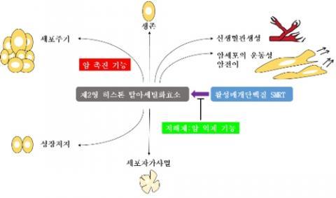 제2형 히스톤 탈 아세틸화 효소 기능 ⓒ 한국연구재단 제공