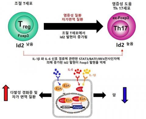 Id2 발현 증가에 따른 조절 T세포 형질 전환 모식도 ⓒ IBS 제공
