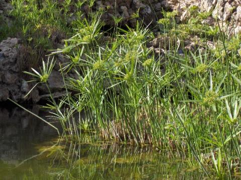 강가에서 자라는 갈대의 일종인 식물 파피루스 ⓒ Free photo