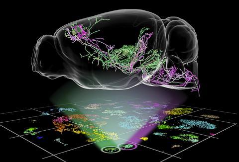미국 앨런연구소 뇌과학 연구팀은 쥐의 뇌세포 유형에 대한 새로운 유전자 기반 분류와 뉴런의 형태 정보를 활용해 쥐의 뇌세포 유형을 분류하고 운동과 관련된 두 가지 유형의 새로운 뉴런을 발견했다.  Credit: Allen Institute for Brain Science